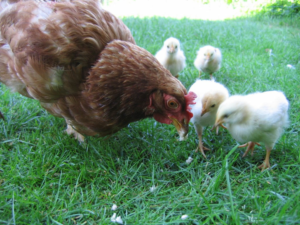 The Two Faces Of Raising Chickens