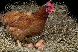 raising laying hens